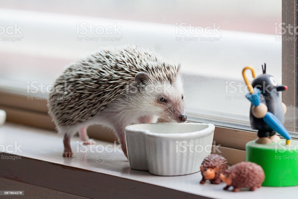 Hedgehog and eat like crazy at the window