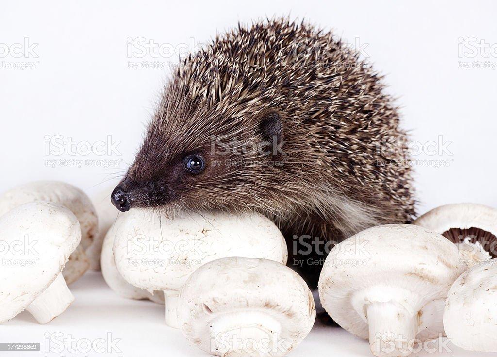 hedgehog and field mushrooms royalty-free stock photo