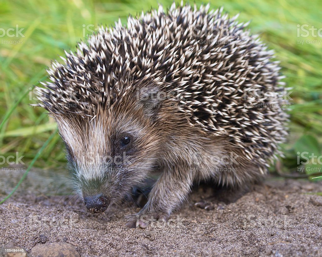 Hedgehog Baby close up royalty-free stock photo