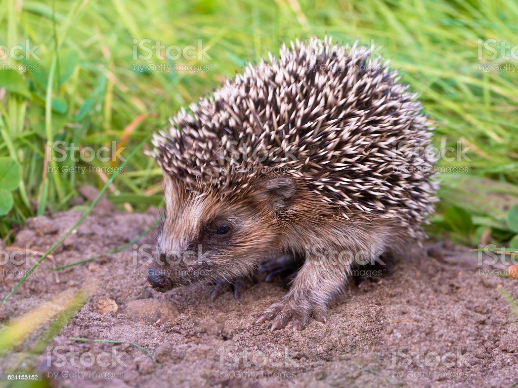 Hedgehog Baby close up stock photo