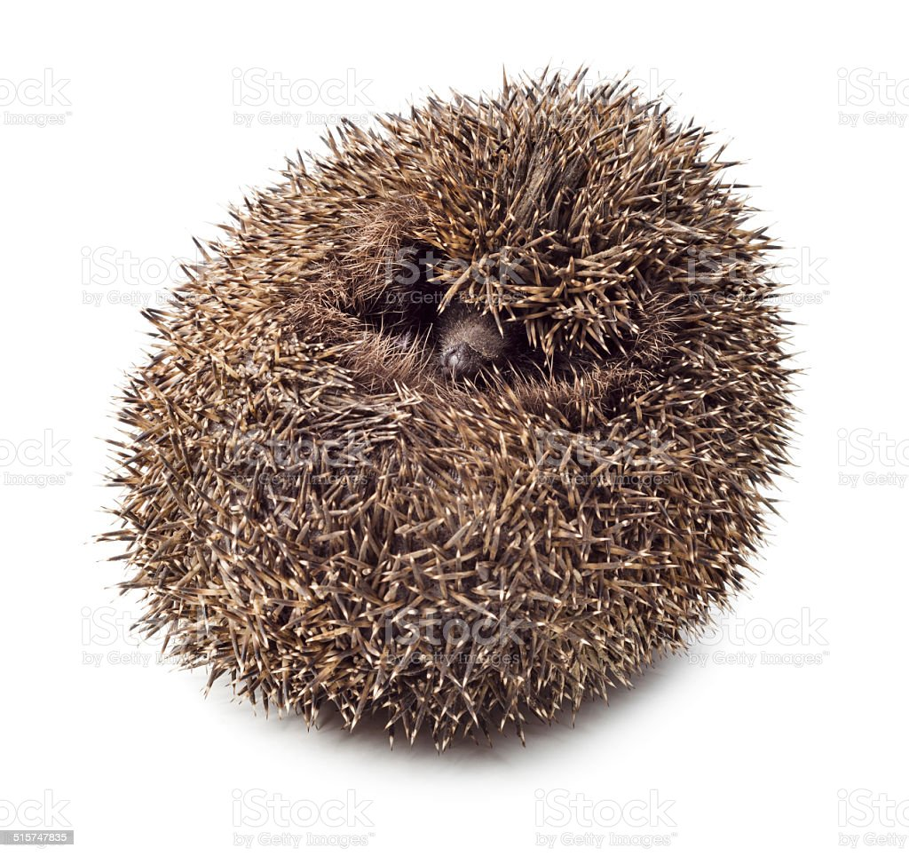 Hedgehog balled up stock photo