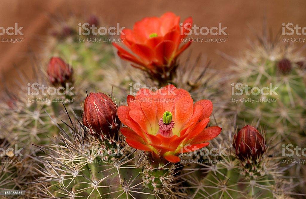 HedgeHog Cactus Blooms stock photo