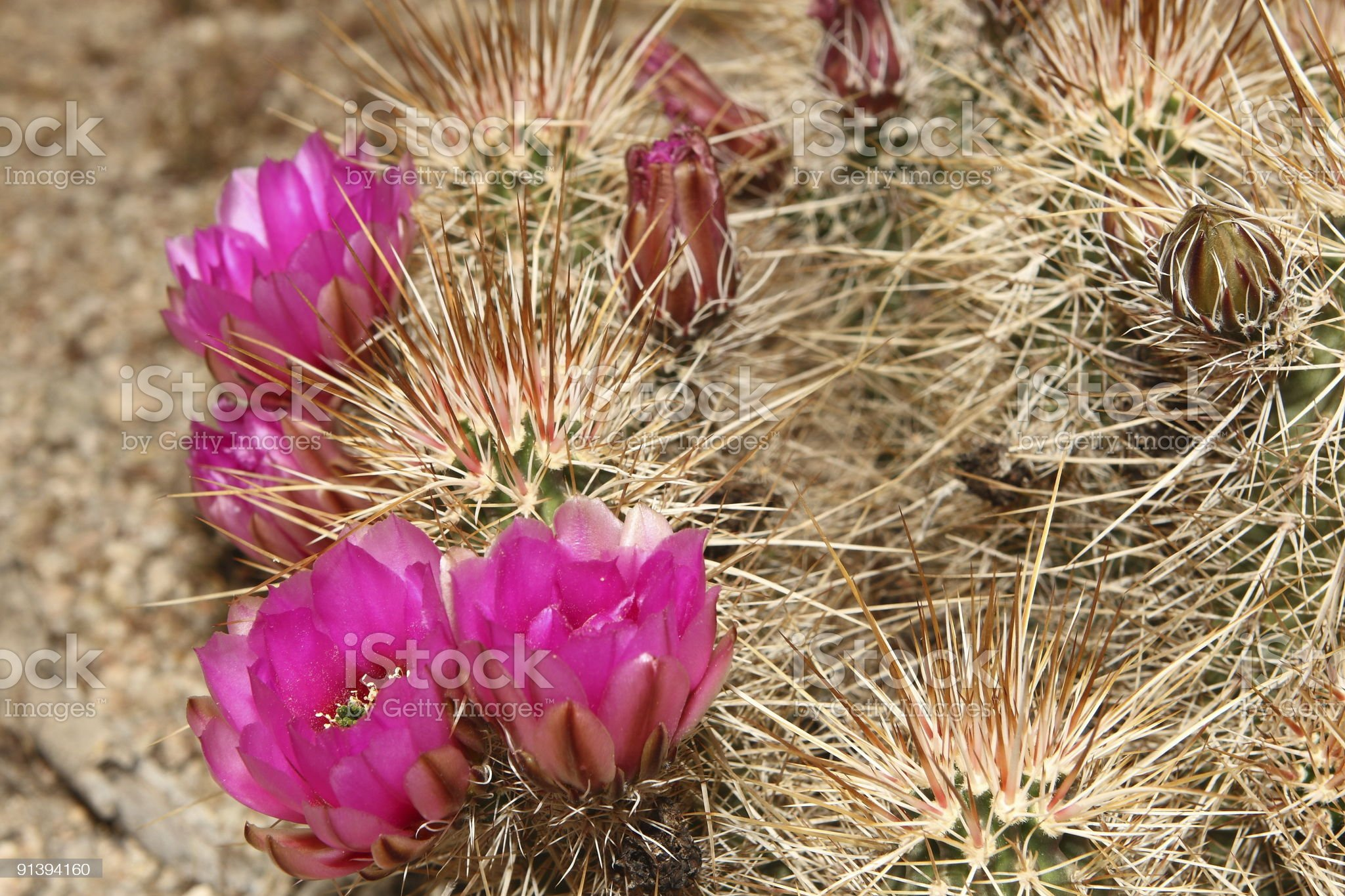 Hedgehog cactus blooms royalty-free stock photo