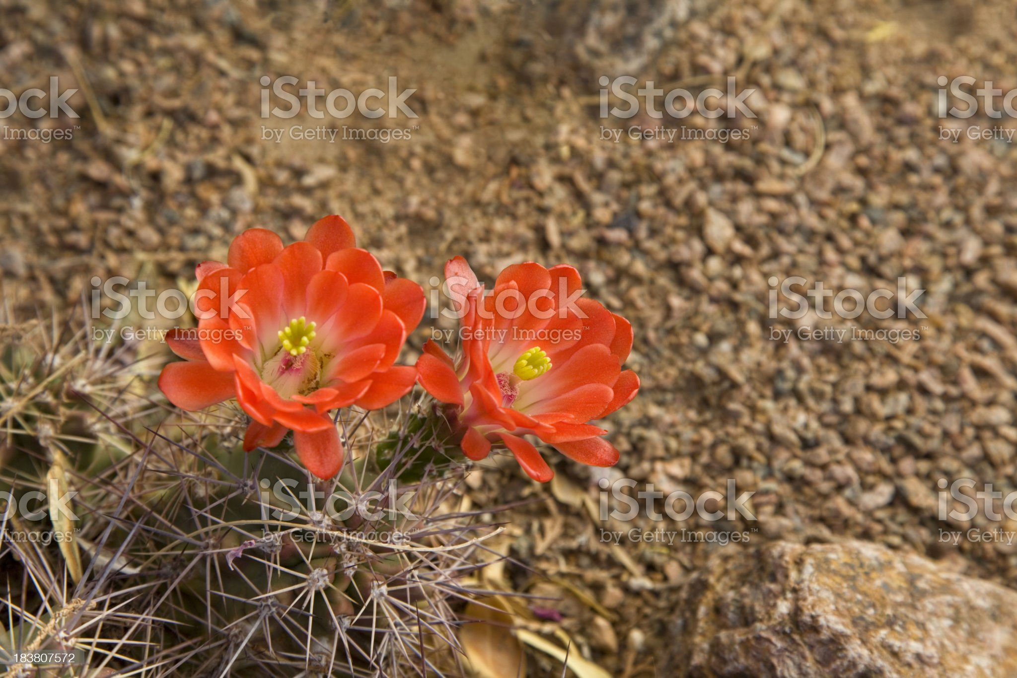 Hedgehog cactus blooms red royalty-free stock photo