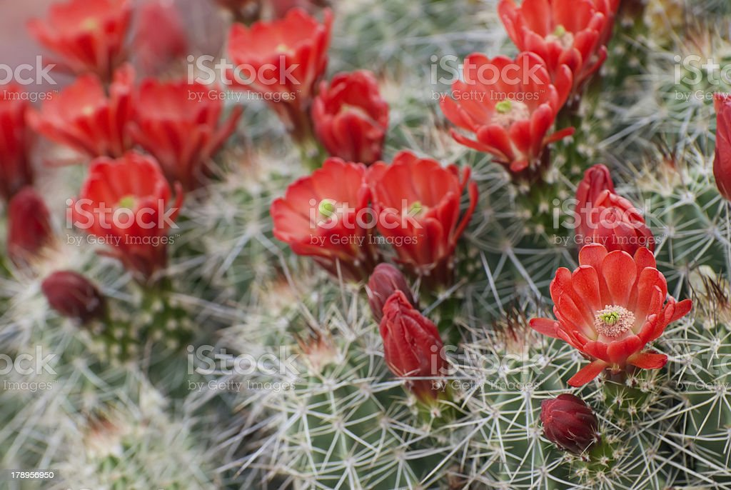 Hedgehog Cactus blossoms stock photo