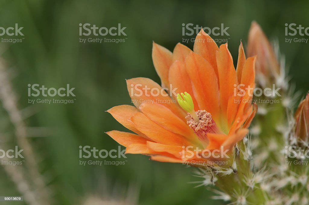 Hedgehog Cactus flower closeup royalty-free stock photo