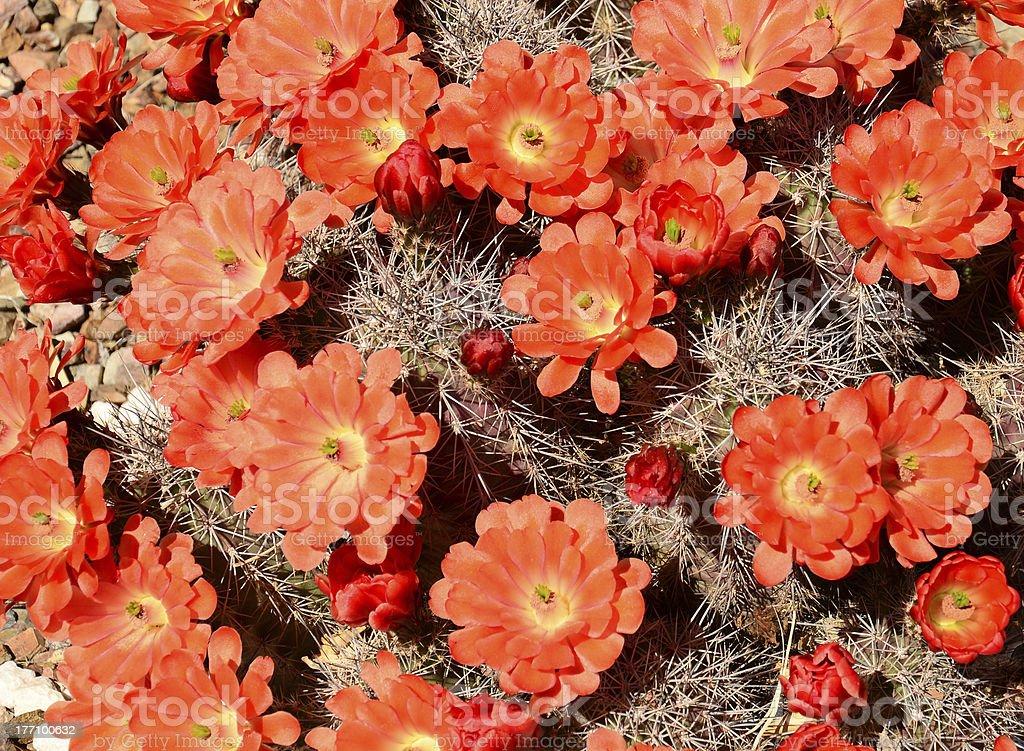 Hedgehog Cactus Flower royalty-free stock photo