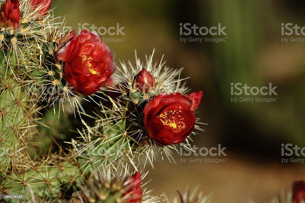 Hedgehog cactus flowers stock photo