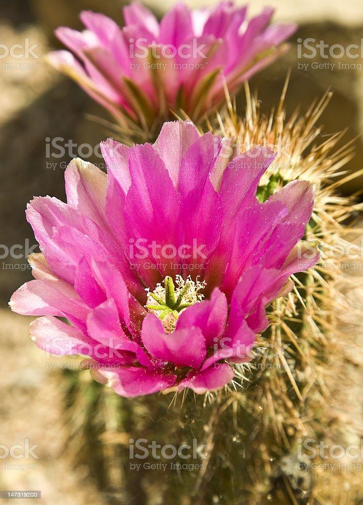 Hedgehog Cactus In Bloom royalty-free stock photo
