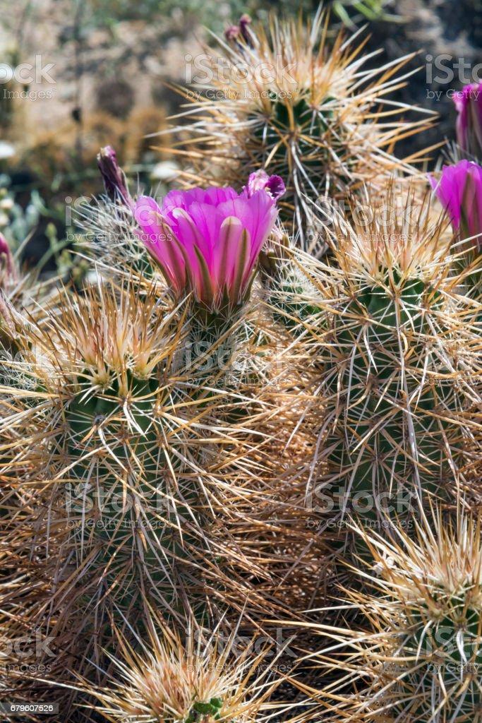 Hedgehog Cactus in Joshua Tree National Park stock photo