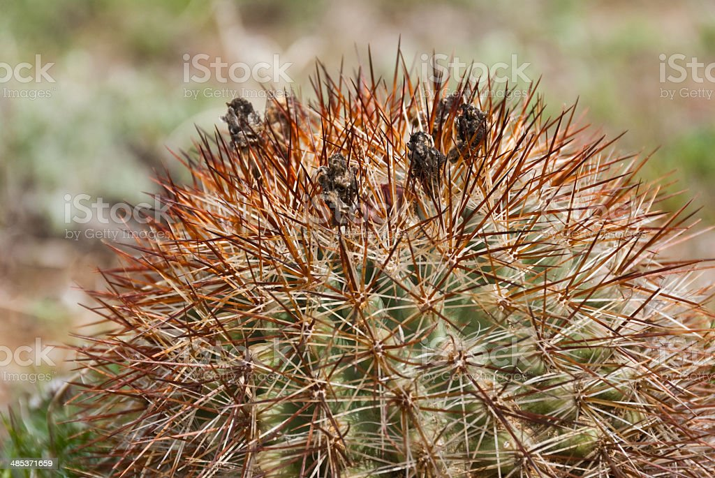 Hedgehog Cactus stock photo