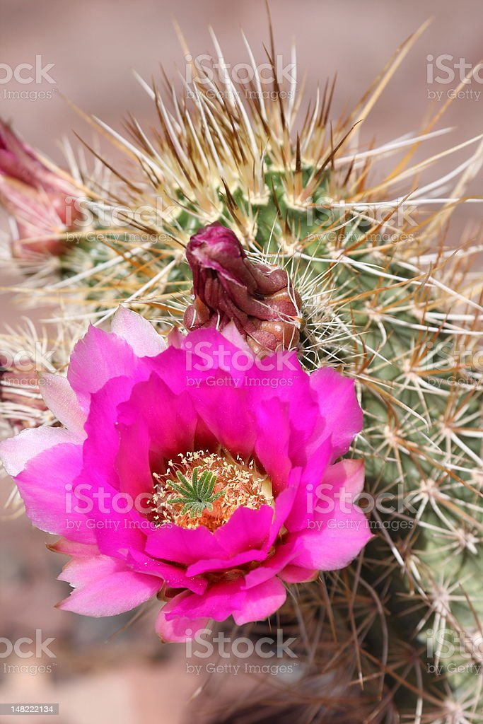 Hedgehog Cactus (Echinocerens) with Flower stock photo