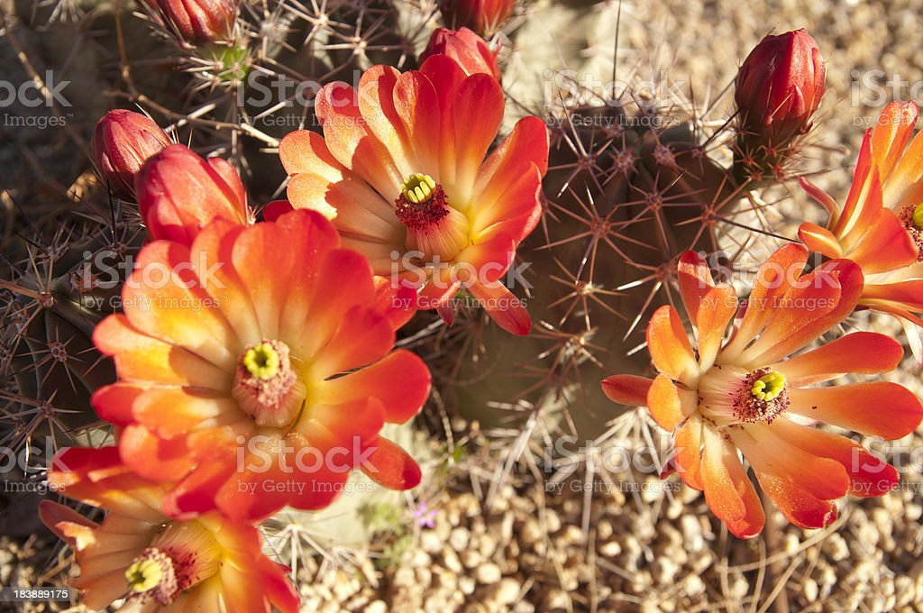 Hedgehog Cactus with Orange Blossoms royalty-free stock photo