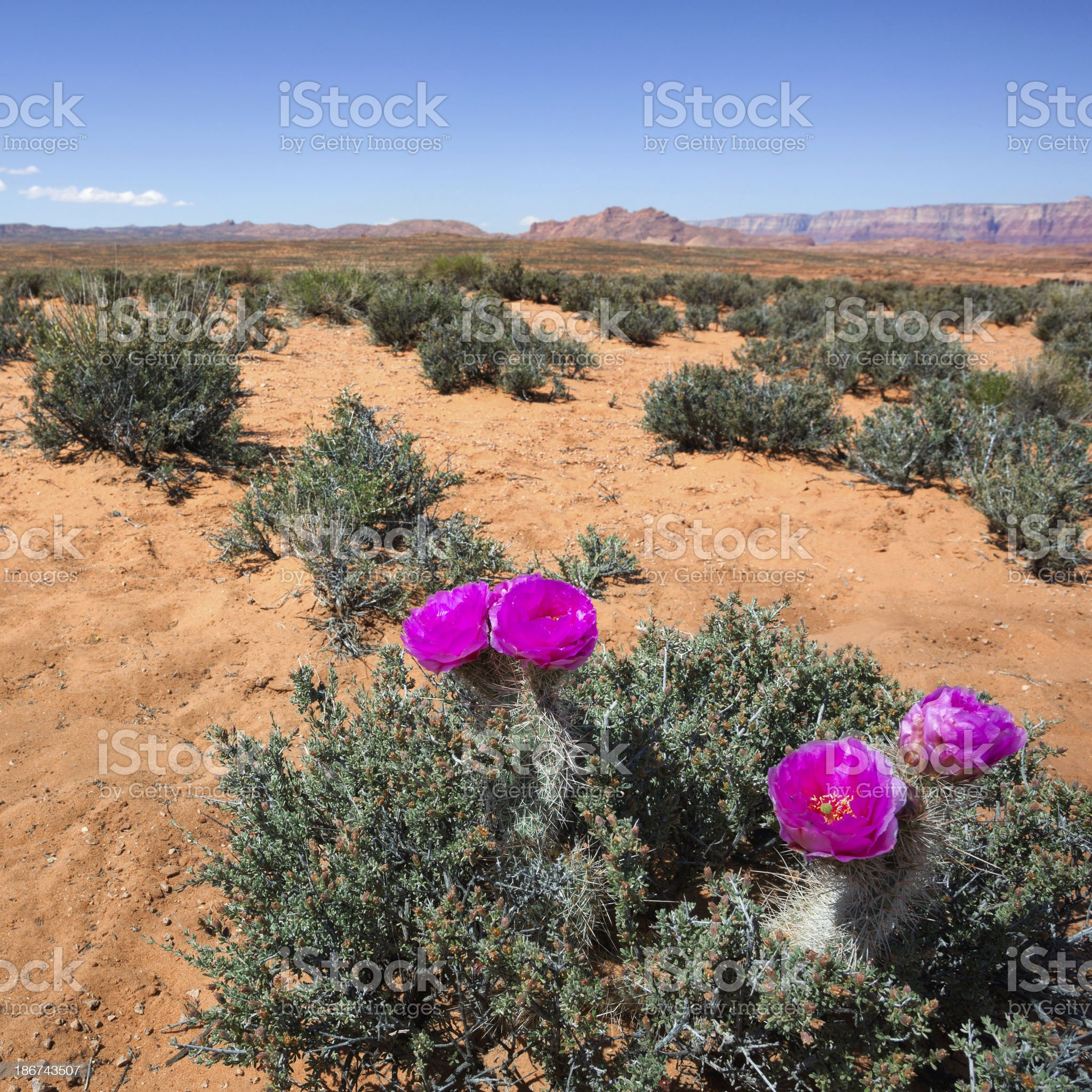 Hedgehog cactuses royalty-free stock photo