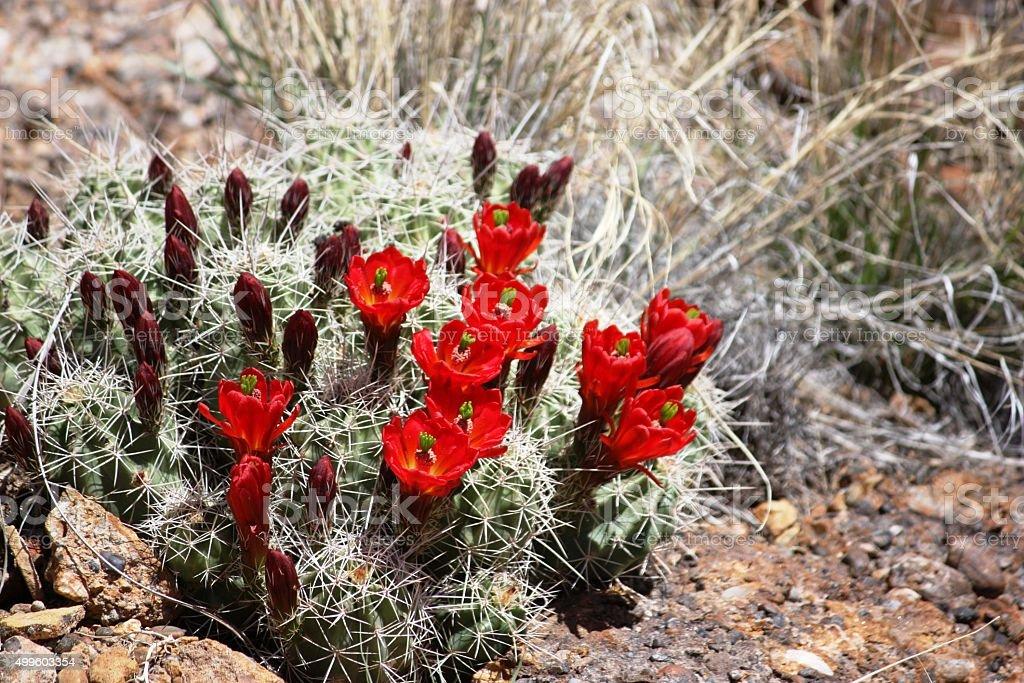 Hedgehog calico Cactus with orangish red flowers stock photo