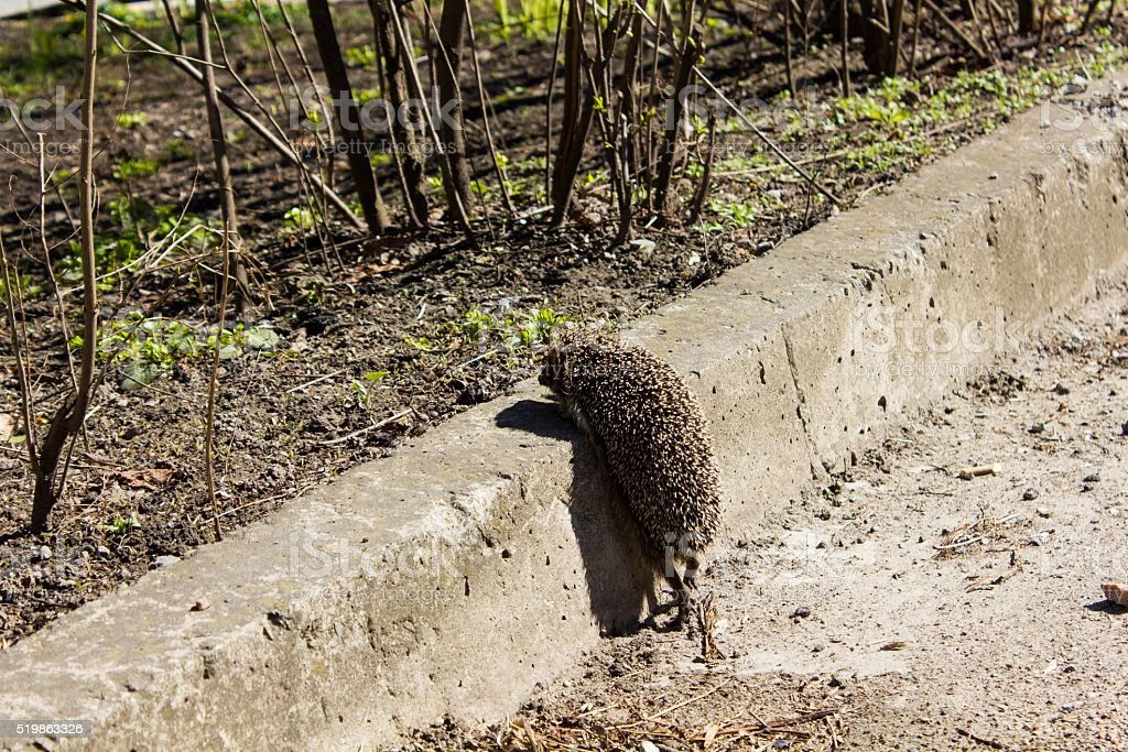 hedgehog climbs on a curb stock photo