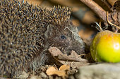 hedgehog close up and green apple in autumn leaves