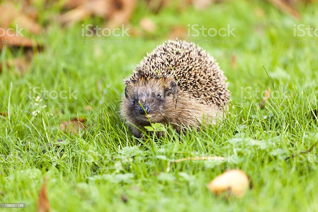 Hedgehog - Erinaceus europaeus royalty-free stock photo