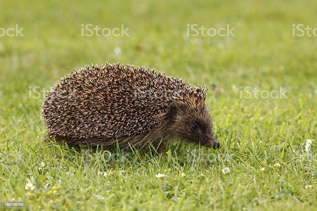 Hedgehog, Erinaceus europaeus royalty-free stock photo
