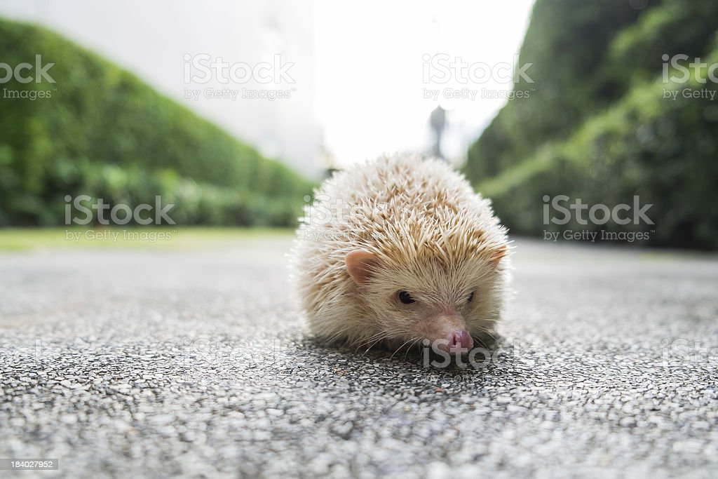 Hedgehog in a bowl royalty-free stock photo