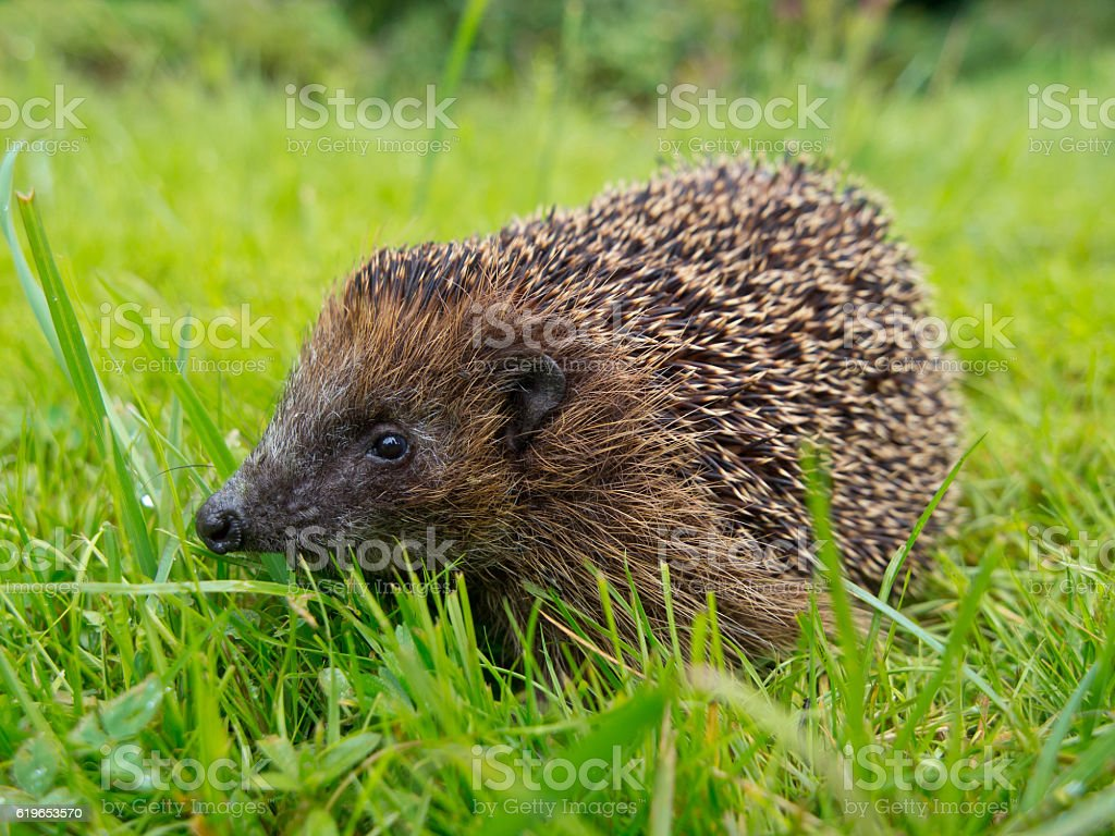 Hedgehog in a garden grass field stock photo