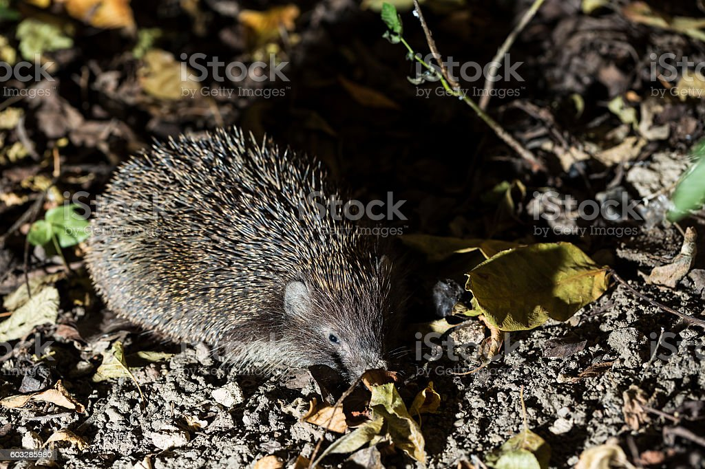 hedgehog in autumn leaves forest stock photo