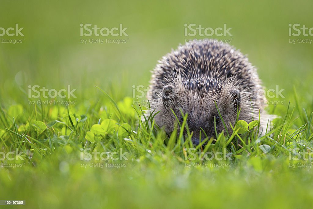 hedgehog in green meadow royalty-free stock photo