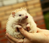 hedgehog in human hand close up photo
