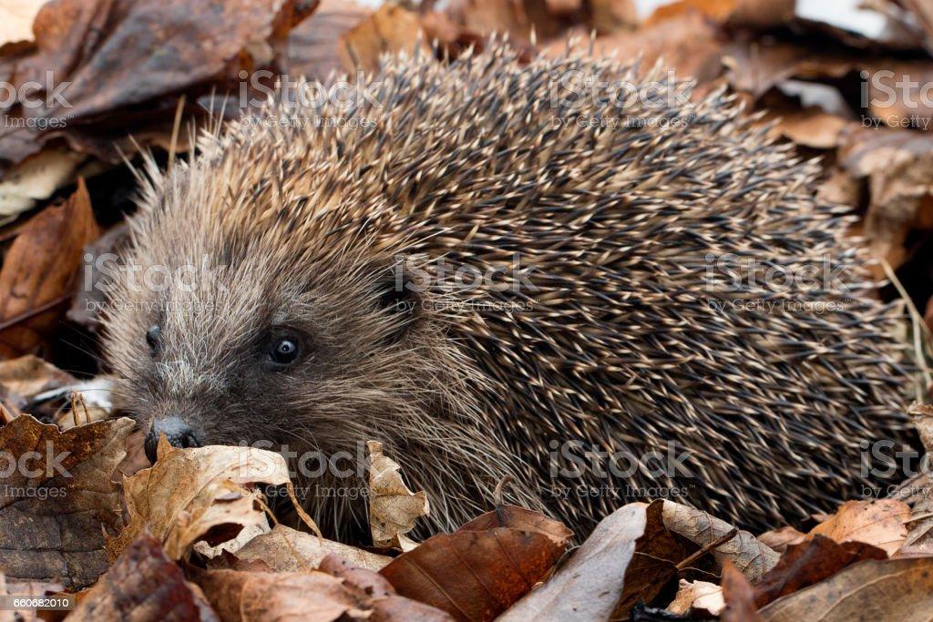 Hedgehog in leaf debris stock photo