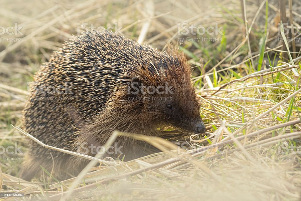 Hedgehog in search for food stock photo