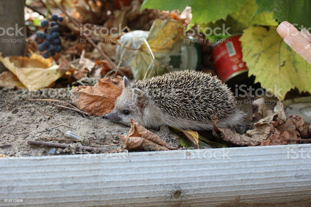 Hedgehog in the autumn stock photo