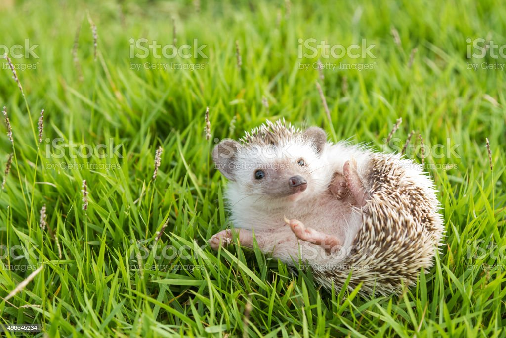 Hedgehog in the garden , African pygmy hedgehog stock photo
