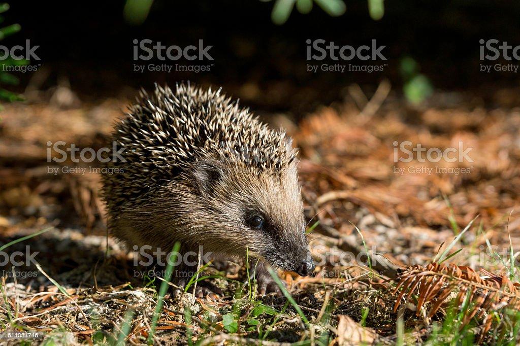 Hedgehog in the garden stock photo