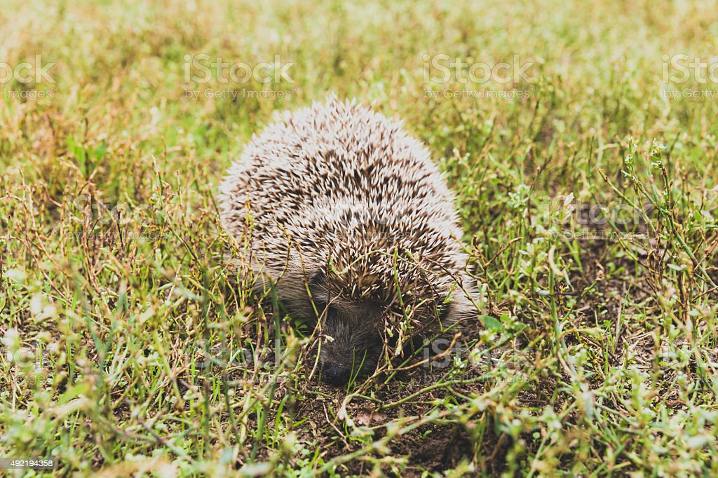 Hedgehog in the grass stock photo