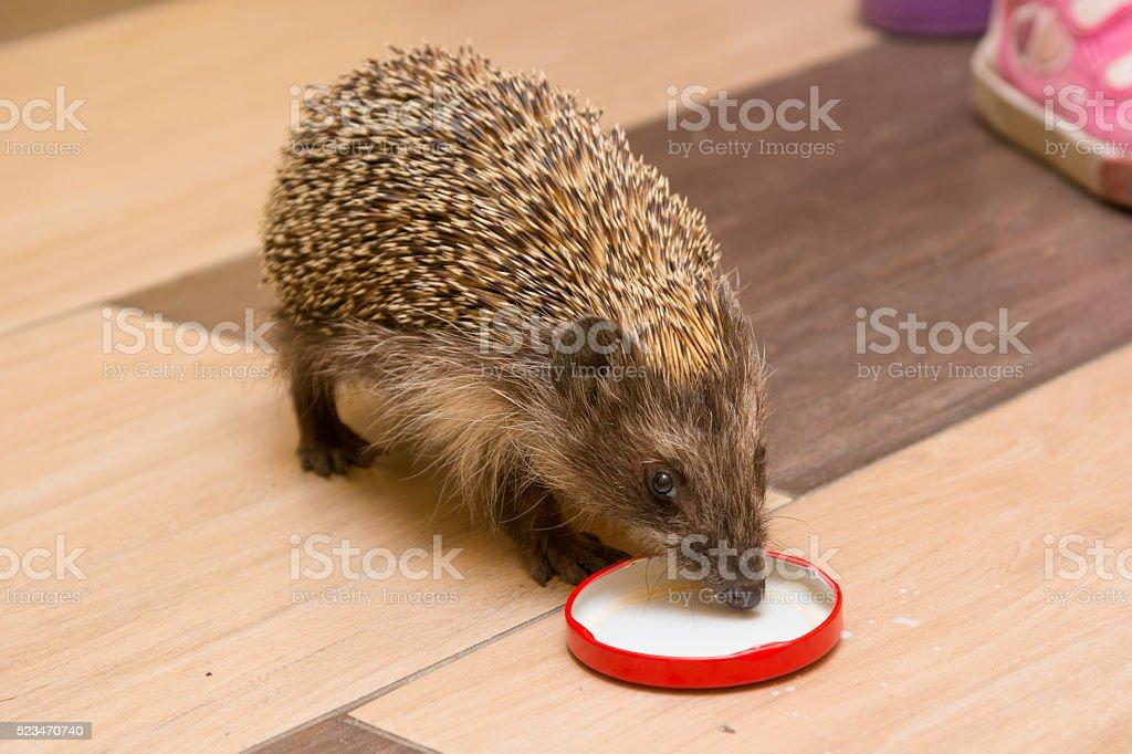 Hedgehog in the hallway drinking milk caps stock photo