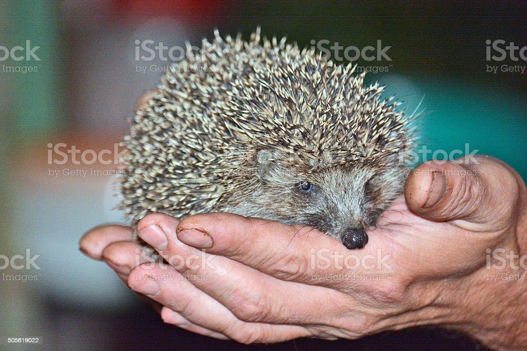 hedgehog in the hands of men stock photo