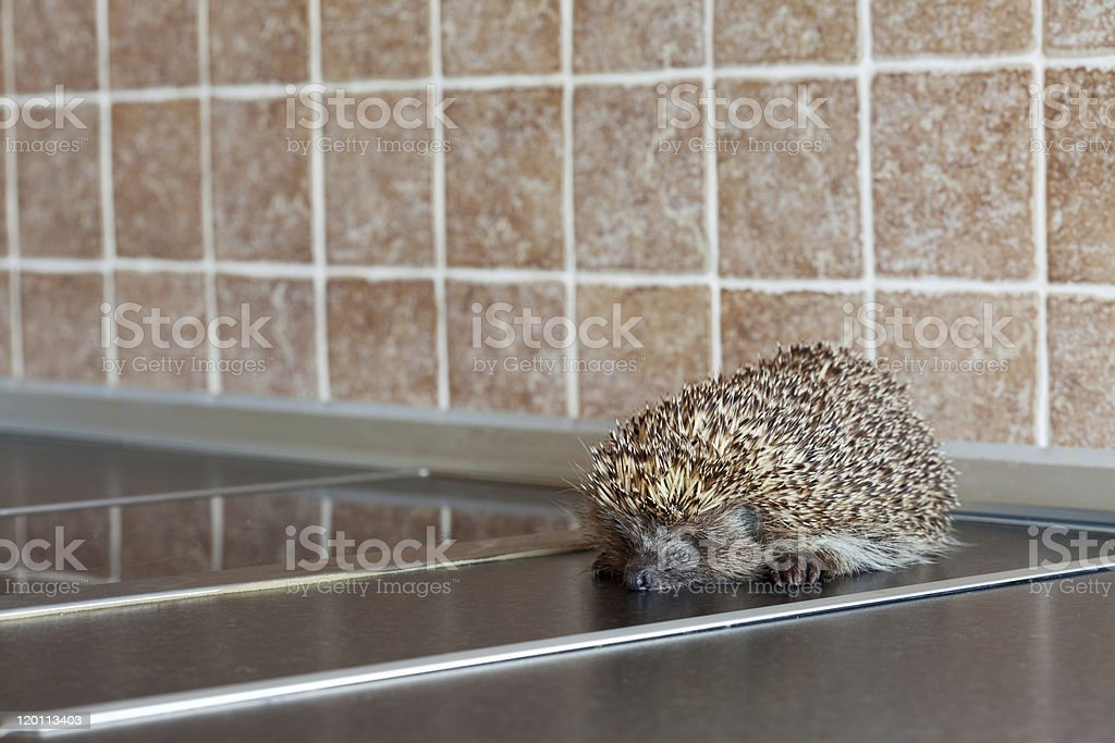 Hedgehog in the Kitcheh stock photo