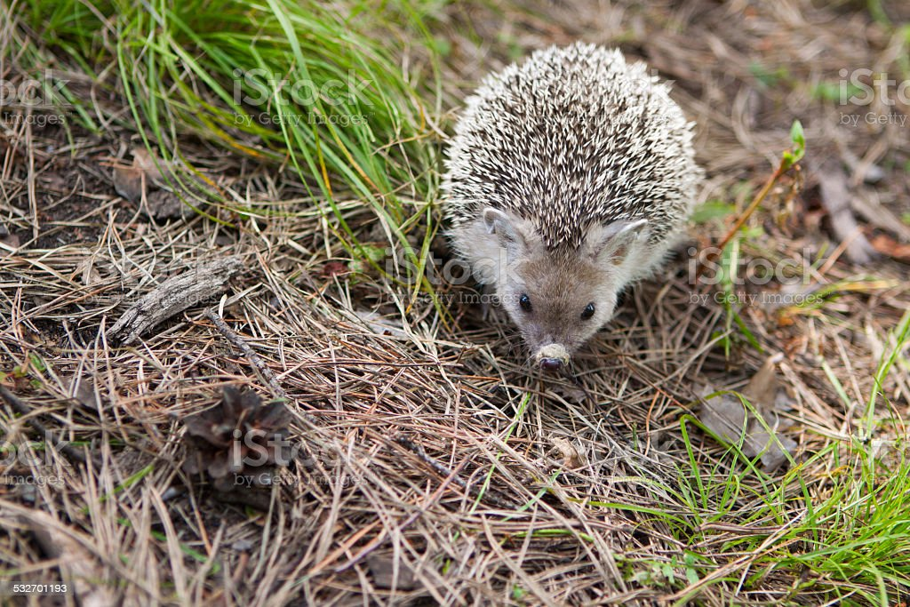 Hedgehog in their natural habitat stock photo