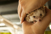 Hedgehog in two hands, selective focus on his face