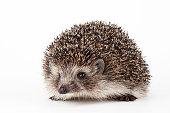 hedgehog isolated background