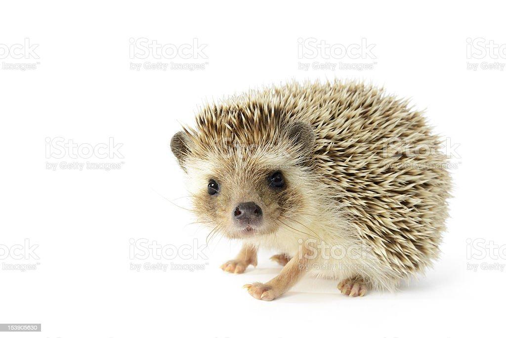 Hedgehog isolated on white background royalty-free stock photo
