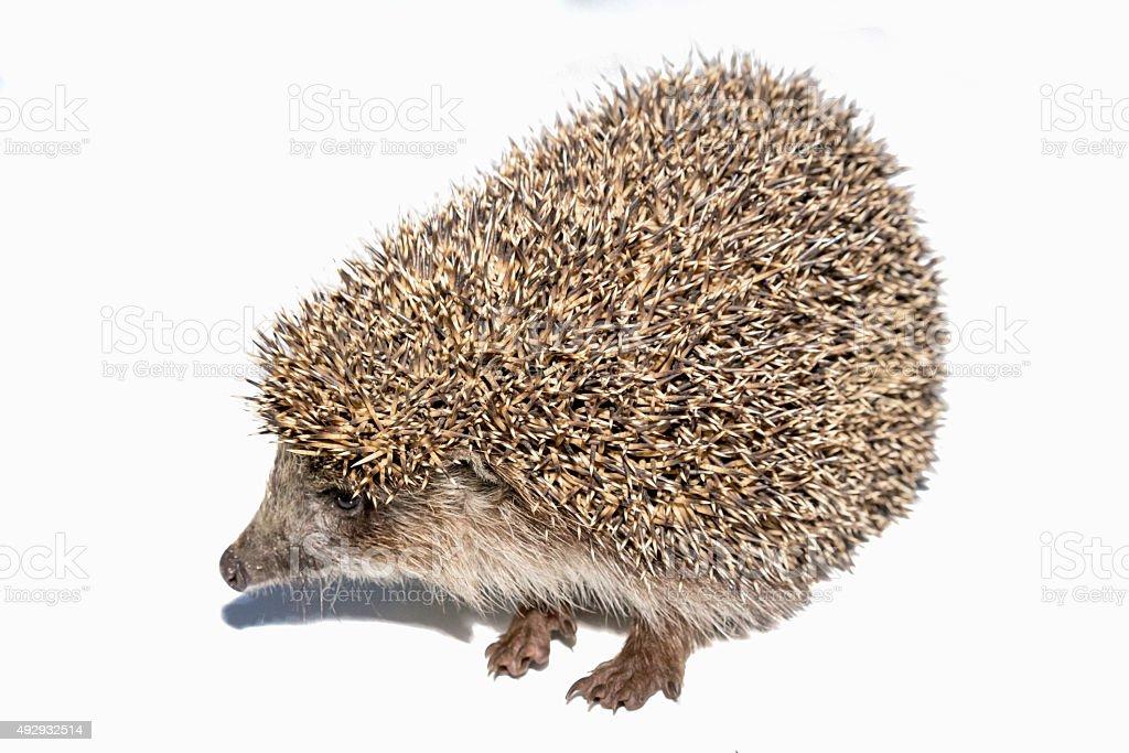 hedgehog isolated on white background stock photo