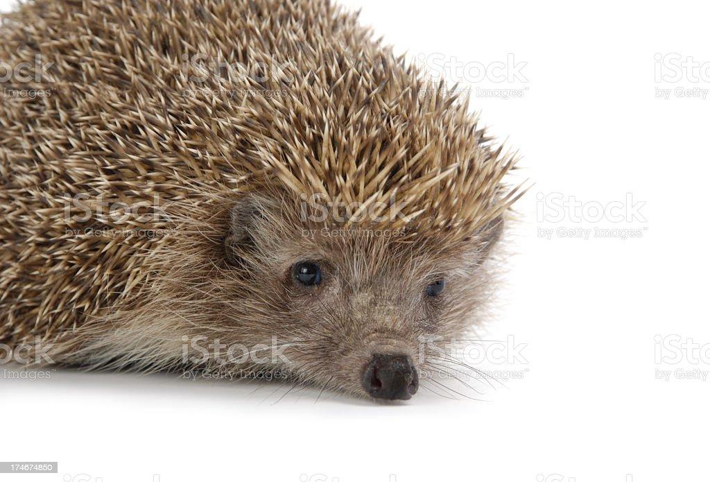 Hedgehog isolated on white royalty-free stock photo