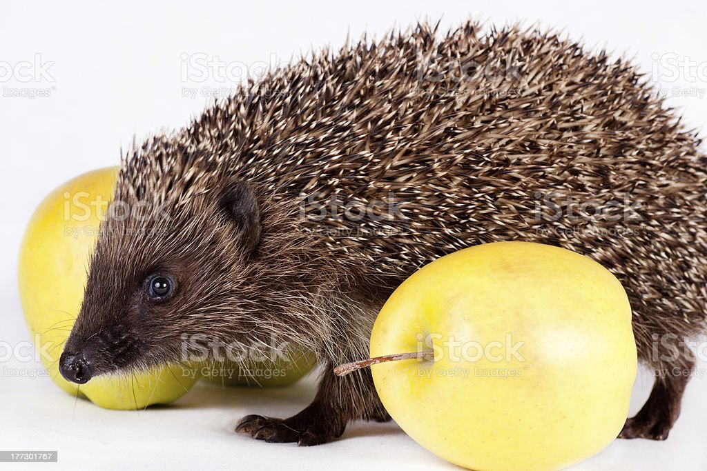 hedgehog near yellow apples stock photo
