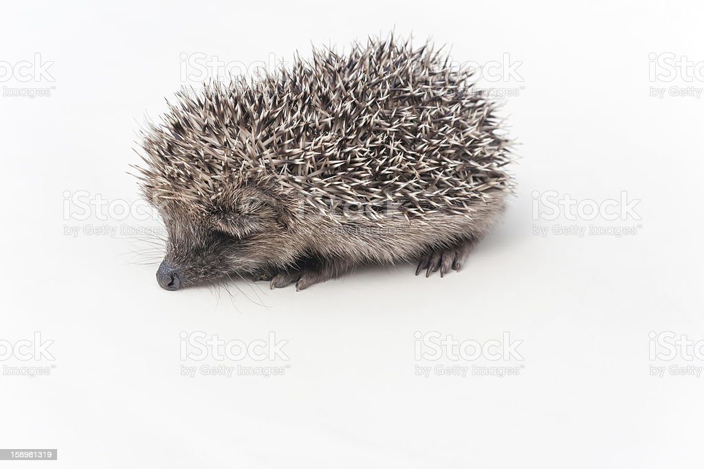 Hedgehog on a white background royalty-free stock photo