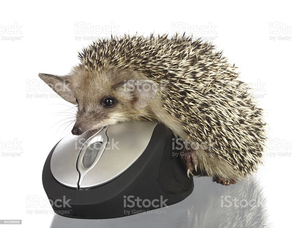 hedgehog on computer mouse stock photo