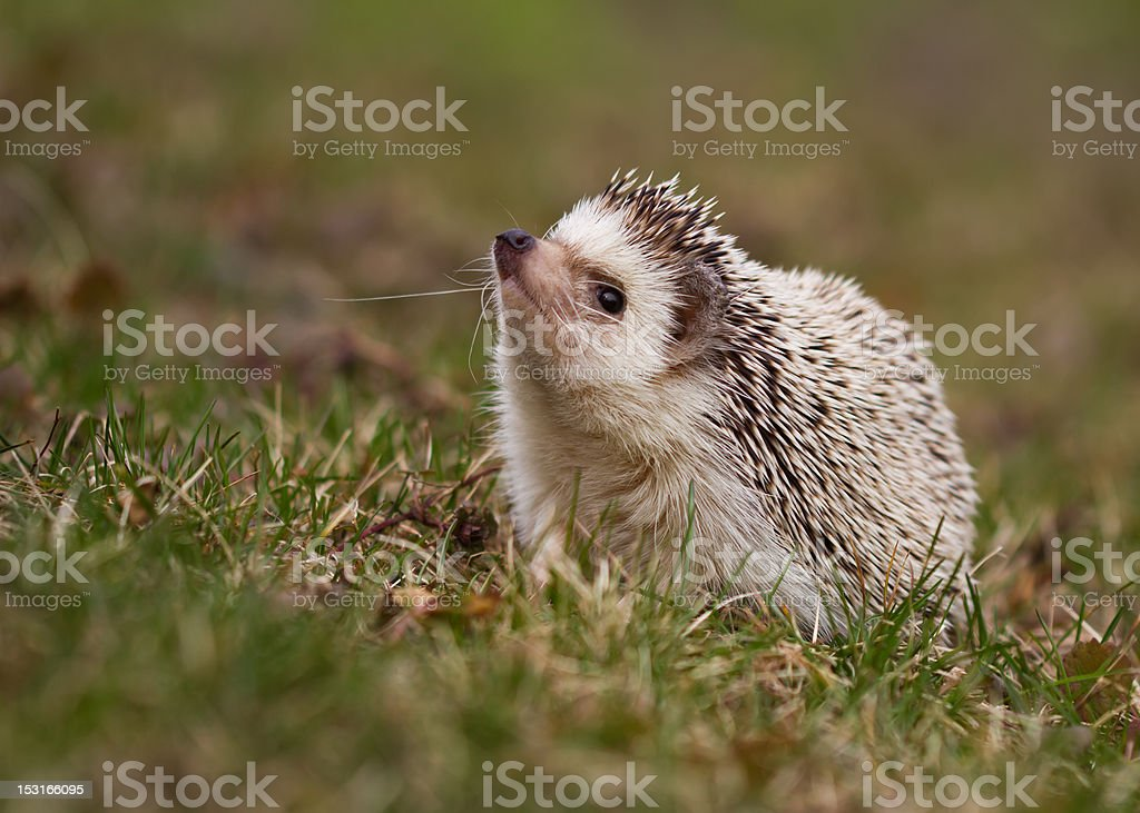 Hedgehog on Grass stock photo
