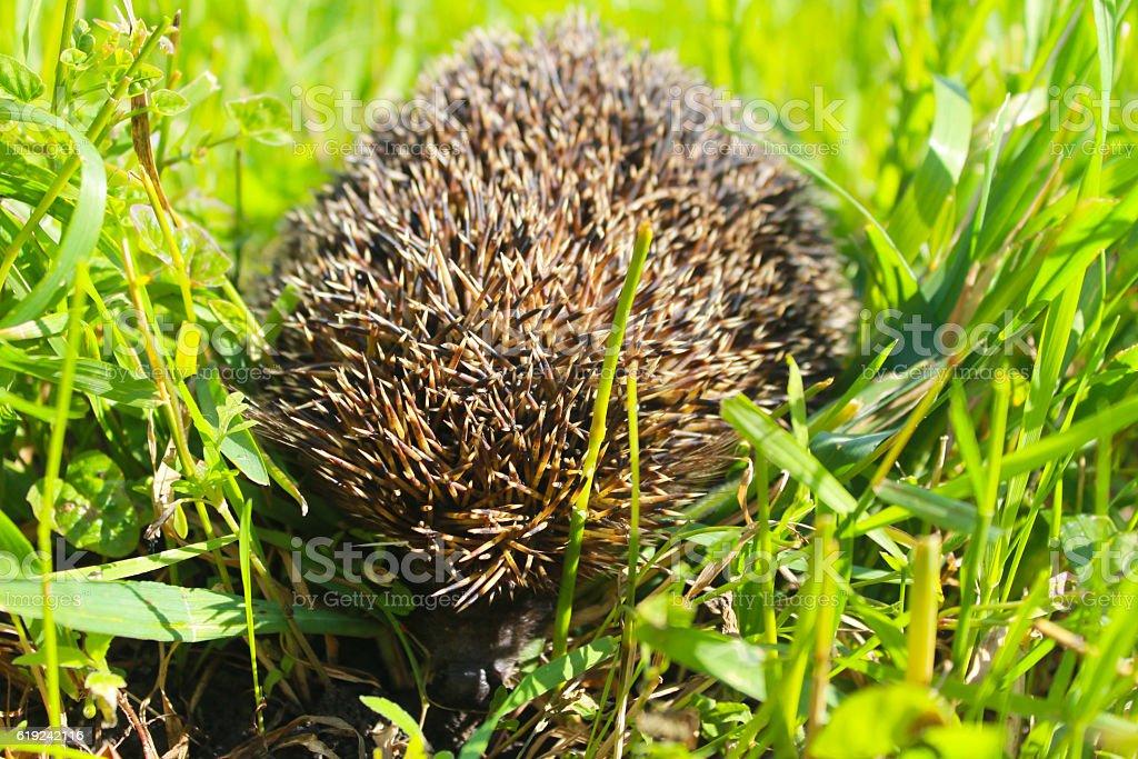 Hedgehog on green grass stock photo