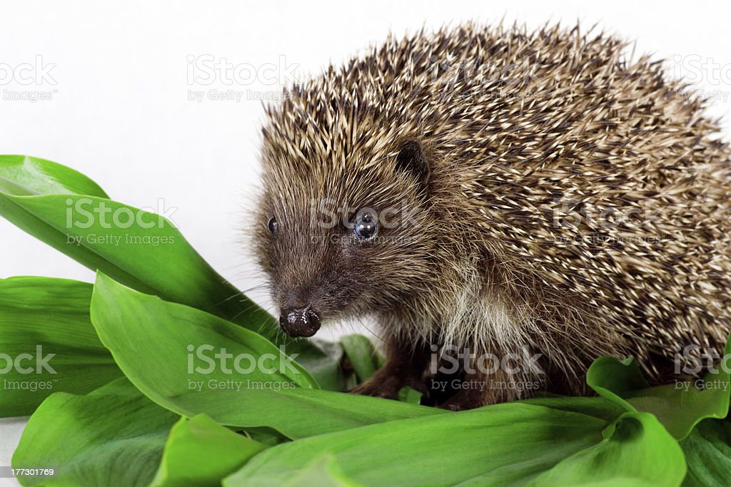 hedgehog on green leaves stock photo