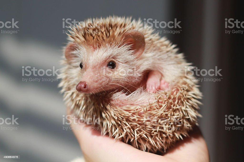 Hedgehog on hand holding stock photo